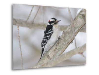 A Downy Woodpecker, Picoides Pubescens, on a Snowy Tree Branch-George Grall-Metal Print