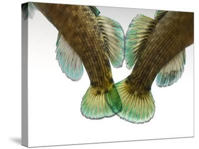 Federally Endangered Boulder Darters, Etheostoma Wapiti-Joel Sartore-Stretched Canvas Print