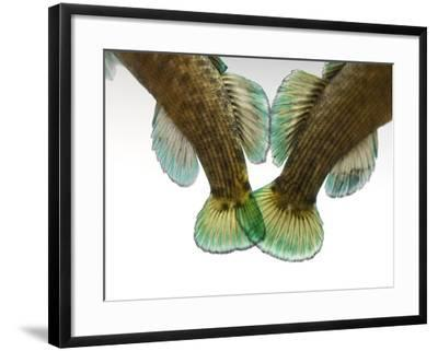 Federally Endangered Boulder Darters, Etheostoma Wapiti-Joel Sartore-Framed Photographic Print