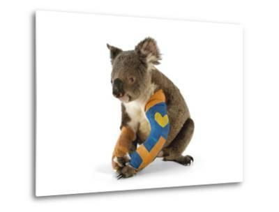 A Koala Recuperates in a Hospital after Being Struck by a Car-Joel Sartore-Metal Print