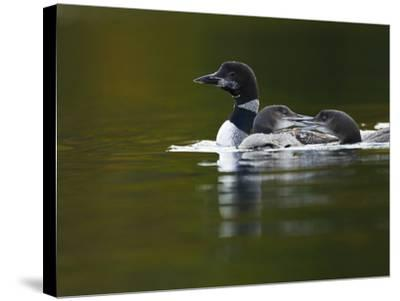 An Adult Loon with Young on No Name Lake-Michael Melford-Stretched Canvas Print
