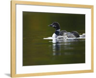 An Adult Loon with Young on No Name Lake-Michael Melford-Framed Photographic Print