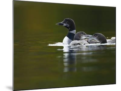 An Adult Loon with Young on No Name Lake-Michael Melford-Mounted Photographic Print