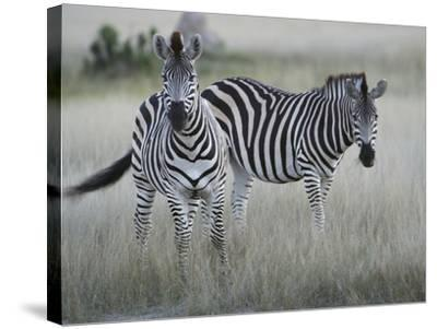 Portrait of a Pair of Zebras, Equus Species, in a Grassland-Bob Smith-Stretched Canvas Print