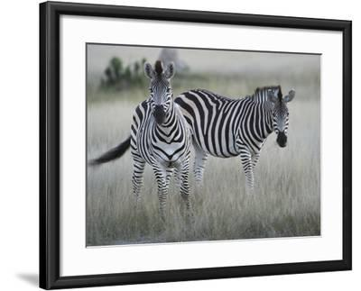 Portrait of a Pair of Zebras, Equus Species, in a Grassland-Bob Smith-Framed Photographic Print