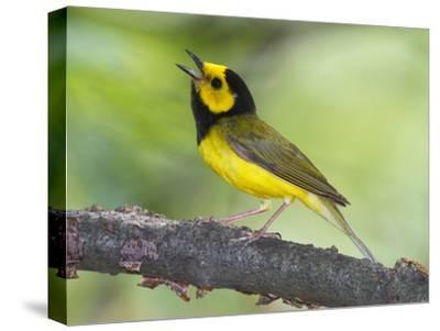 Portrait of a Hooded Warbler, Singing-George Grall-Stretched Canvas Print