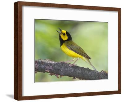 Portrait of a Hooded Warbler, Singing-George Grall-Framed Photographic Print