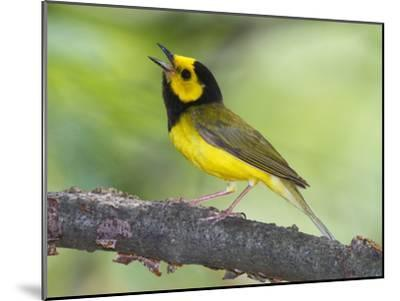 Portrait of a Hooded Warbler, Singing-George Grall-Mounted Photographic Print