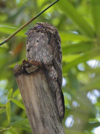 A Common Potoo, Nyctibius Griseus, Hiding in Plain Sight Atop a Log-George Grall-Framed Photographic Print