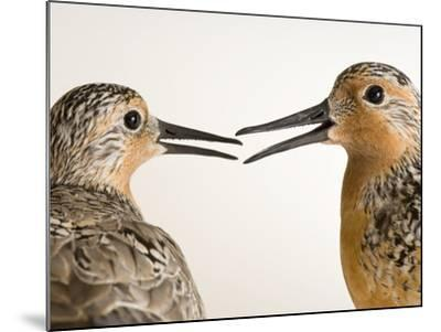 Red Knots, Calidris Canutus, a Species in Rapid Population Decline-Joel Sartore-Mounted Photographic Print