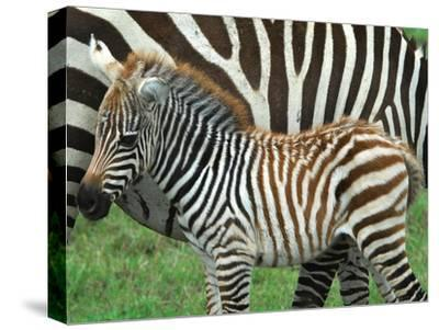 A Young Common Zebra, Equus Quagga, Next to its Mother-Kike Calvo-Stretched Canvas Print