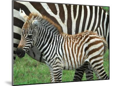 A Young Common Zebra, Equus Quagga, Next to its Mother-Kike Calvo-Mounted Premium Photographic Print