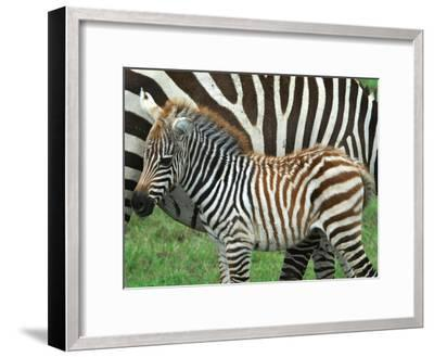 A Young Common Zebra, Equus Quagga, Next to its Mother-Kike Calvo-Framed Photographic Print