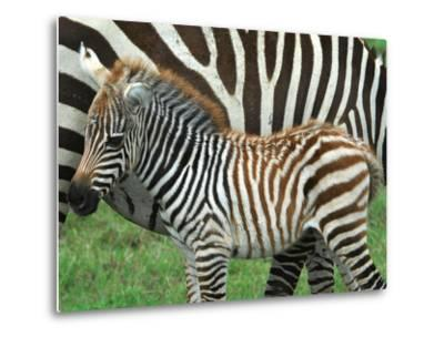 A Young Common Zebra, Equus Quagga, Next to its Mother-Kike Calvo-Metal Print