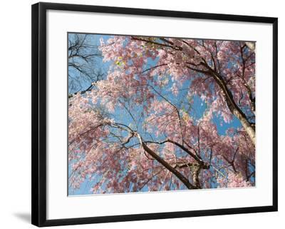 Canopy View of Weeping Cherry Trees, Prunus Subhirtella Var. Pendula-Darlyne A^ Murawski-Framed Photographic Print