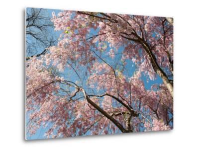 Canopy View of Weeping Cherry Trees, Prunus Subhirtella Var. Pendula-Darlyne A^ Murawski-Metal Print