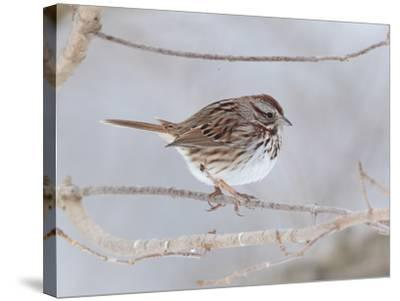 A Song Sparrow, Melospiza Melodia, Perched on a Tree Branch-George Grall-Stretched Canvas Print
