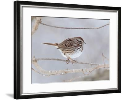 A Song Sparrow, Melospiza Melodia, Perched on a Tree Branch-George Grall-Framed Photographic Print
