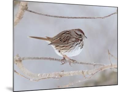 A Song Sparrow, Melospiza Melodia, Perched on a Tree Branch-George Grall-Mounted Photographic Print