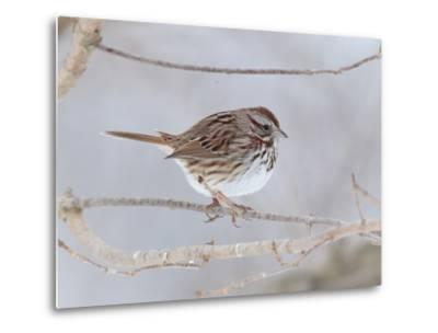A Song Sparrow, Melospiza Melodia, Perched on a Tree Branch-George Grall-Metal Print