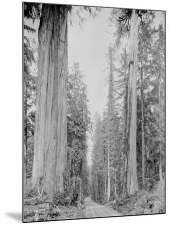 Cedar Trees, Clearwater, WA, 1936-Ashael Curtis-Mounted Giclee Print