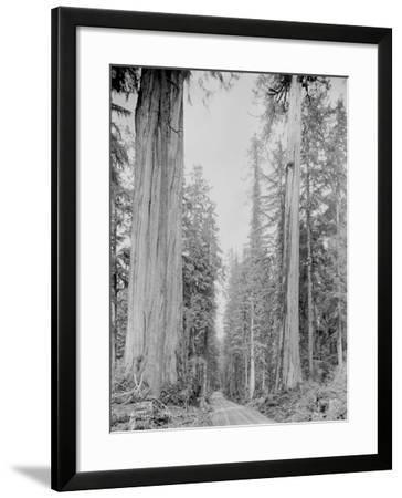 Cedar Trees, Clearwater, WA, 1936-Ashael Curtis-Framed Giclee Print