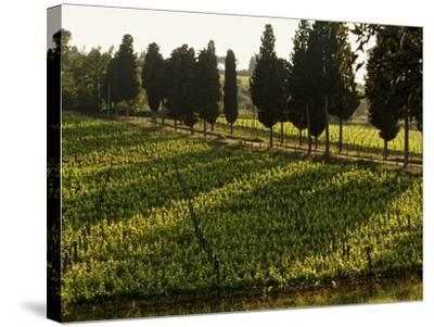 Grape Vines and Cypress Trees in Spring in Tuscany-Herbert Lehmann-Stretched Canvas Print