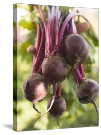 Hands Holding Fresh Beetroot--Stretched Canvas Print
