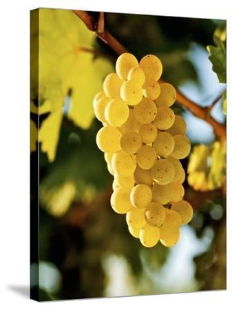 Ripe White Wine Grapes on Vine (Grüner Veltliner, Lower Austria)-Herbert Lehmann-Stretched Canvas Print
