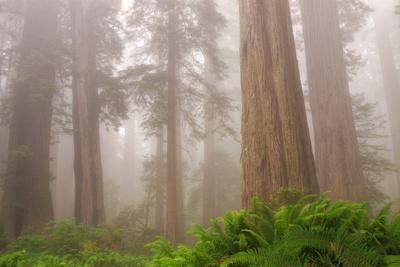 Misty Morning Redwoods at Lady Bird Johnson Grove-Vincent James-Framed Photographic Print