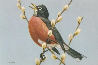 Robin on Pussy Willows--Stretched Canvas Print