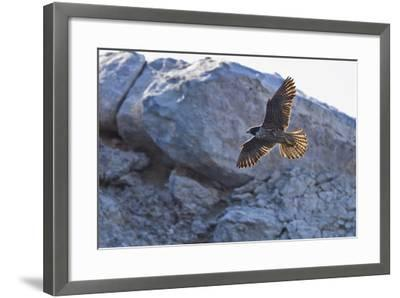 Adult Peregrine Falcon (Falco Peregrinus), Isla Rasa, Gulf of California, Baja California, Mexico-Michael Nolan-Framed Photographic Print