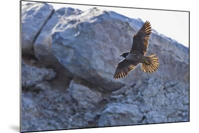 Adult Peregrine Falcon (Falco Peregrinus), Isla Rasa, Gulf of California, Baja California, Mexico-Michael Nolan-Mounted Photographic Print