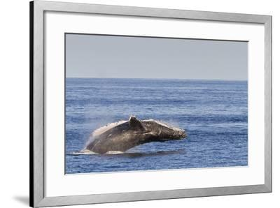 Adult Humpback Whale (Megaptera Novaeangliae) Breach, Gulf of California, Mexico-Michael Nolan-Framed Photographic Print