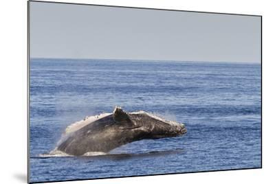Adult Humpback Whale (Megaptera Novaeangliae) Breach, Gulf of California, Mexico-Michael Nolan-Mounted Photographic Print