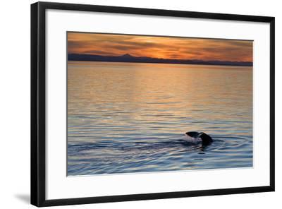 Sperm Whale (Physeter Macrocephalus) at Sunset, Isla San Pedro Martir, Gulf of California, Mexico-Michael Nolan-Framed Photographic Print