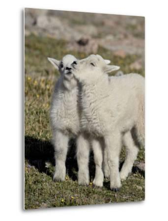 Two Mountain Goat Kids Playing, Mt Evans, Arapaho-Roosevelt Nat'l Forest, Colorado, USA-James Hager-Metal Print