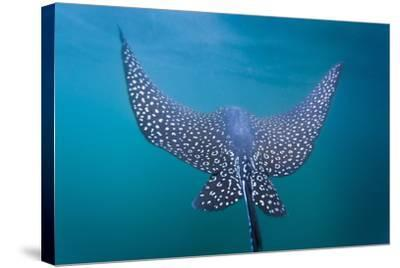 Spotted Eagle Ray (Aetobatus Narinari) Underwater, Leon Dormido Is, San Cristobal Island, Ecuador-Michael Nolan-Stretched Canvas Print