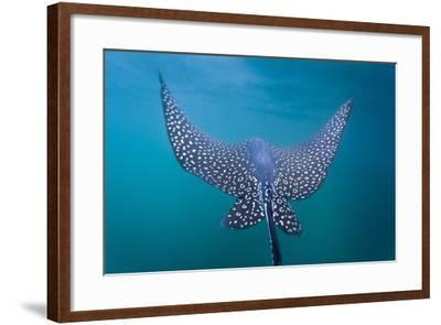 Spotted Eagle Ray (Aetobatus Narinari) Underwater, Leon Dormido Is, San Cristobal Island, Ecuador-Michael Nolan-Framed Photographic Print