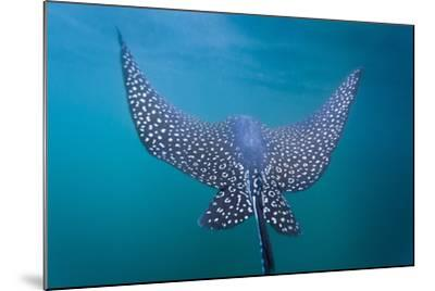 Spotted Eagle Ray (Aetobatus Narinari) Underwater, Leon Dormido Is, San Cristobal Island, Ecuador-Michael Nolan-Mounted Photographic Print