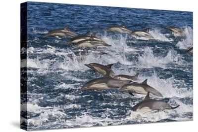 Long-Beaked Common Dolphin (Delphinus Capensis) Pod, Isla San Esteban, Gulf of California, Mexico-Michael Nolan-Stretched Canvas Print