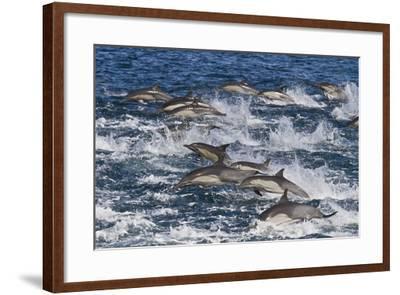 Long-Beaked Common Dolphin (Delphinus Capensis) Pod, Isla San Esteban, Gulf of California, Mexico-Michael Nolan-Framed Photographic Print