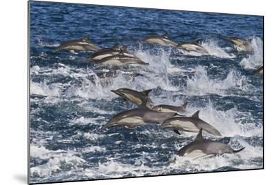 Long-Beaked Common Dolphin (Delphinus Capensis) Pod, Isla San Esteban, Gulf of California, Mexico-Michael Nolan-Mounted Photographic Print