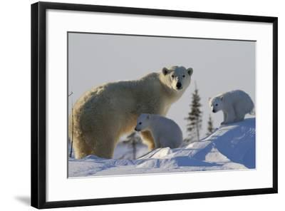 Polar Bear (Ursus Maritimus) and Cubs, Wapusk National Park, Churchill, Hudson Bay, Canada-David Jenkins-Framed Photographic Print