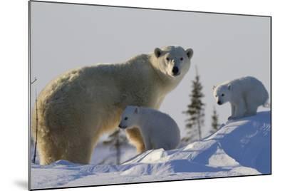 Polar Bear (Ursus Maritimus) and Cubs, Wapusk National Park, Churchill, Hudson Bay, Canada-David Jenkins-Mounted Photographic Print