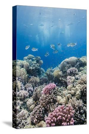 Hard Coral and Tropical Reef Scene, Ras Mohammed Nat'l Pk, Off Sharm El Sheikh, Egypt, North Africa-Mark Doherty-Stretched Canvas Print