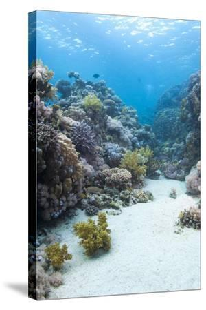 Coral Reef Scene Close to the Ocean Surface, Ras Mohammed Nat'l Pk, Off Sharm El Sheikh, Egypt-Mark Doherty-Stretched Canvas Print