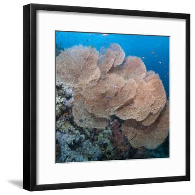 Close-Up of Giant Sea Fan Coral, Ras Mohammed Nat'l Pk, Off Sharm El Sheikh, Egypt-Mark Doherty-Framed Photographic Print