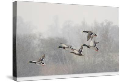 Four Mallard Drakes and a Duck Flying over Frozen Lake in Snowstorm, Wiltshire, England, UK-Nick Upton-Stretched Canvas Print