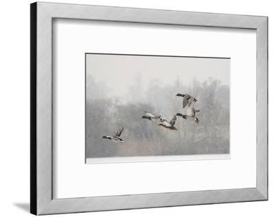 Four Mallard Drakes and a Duck Flying over Frozen Lake in Snowstorm, Wiltshire, England, UK-Nick Upton-Framed Photographic Print